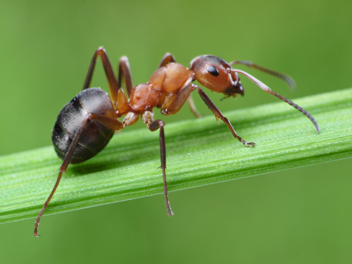 A image of an Ant