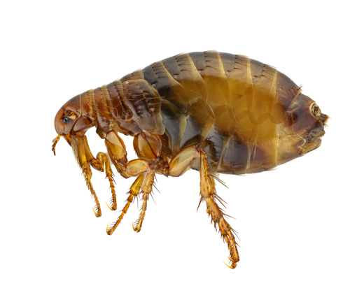 A close up image of a Flea