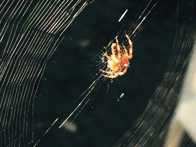 An Orb-weaver garden spider