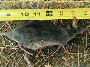 Roof Rat,compost pile,portland oregon,