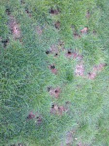 Mole damage to yard