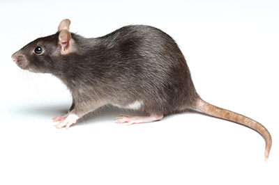 Image of a Rat.